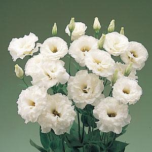 这个是什么花?白色花瓣,绿色花蕊._花瓣,花心是一根绿的,其周遍有细